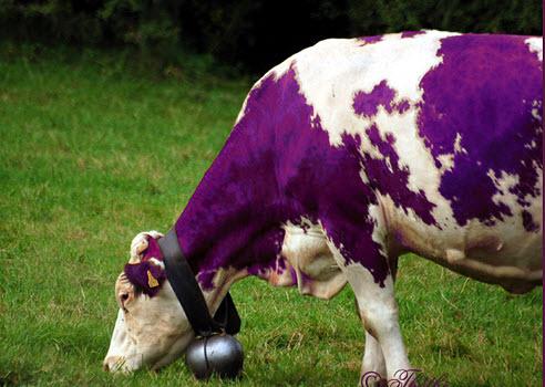 Hoe maak je een Purple cow?